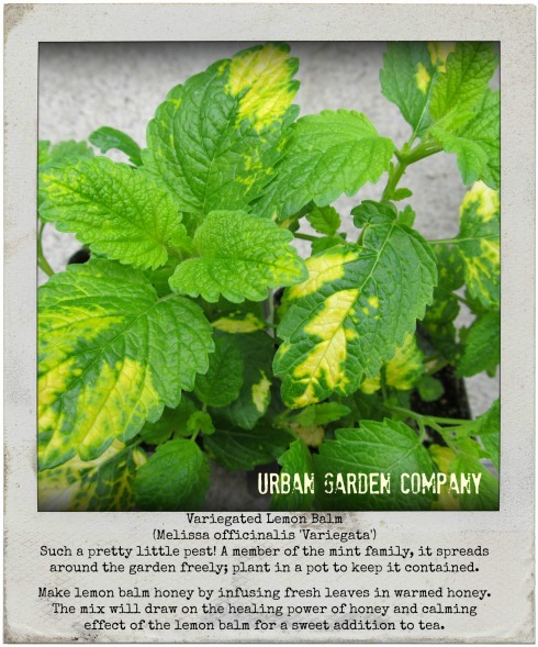 lemon balm polaroid