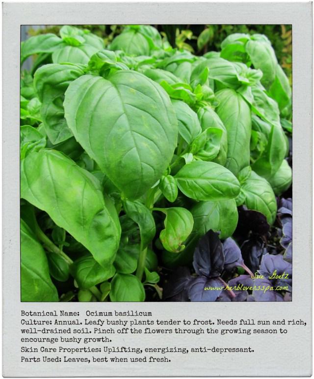 basil polaroid herb lovers