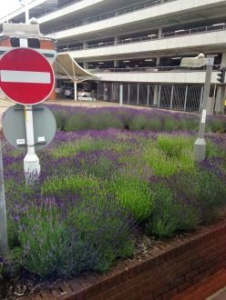 IMG_7924 heathrow lavender