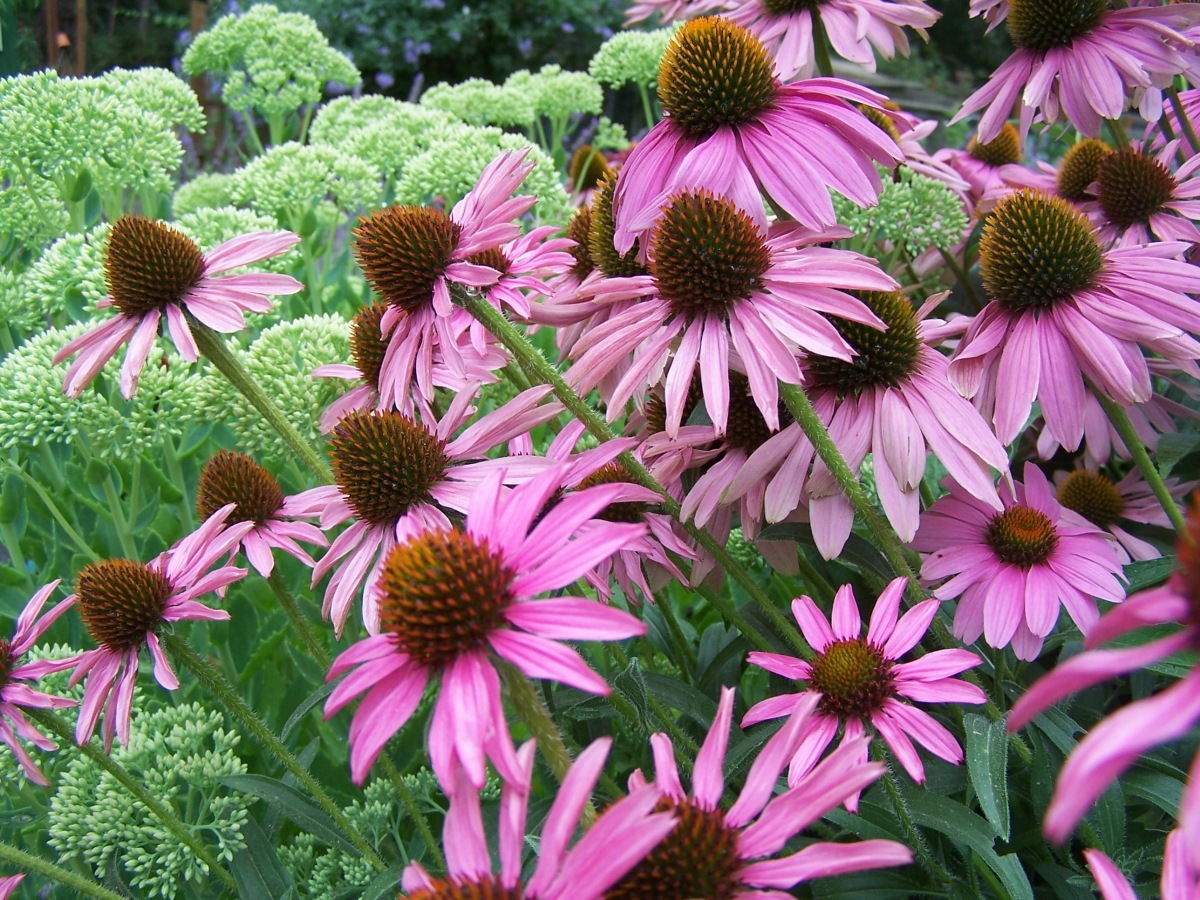 For the Love of Coneflower