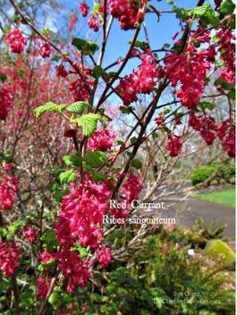 Ribes-sanguineum-labeled.jpg